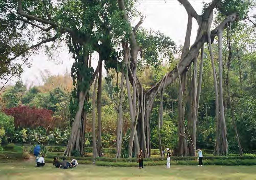版纳独树成林风景区